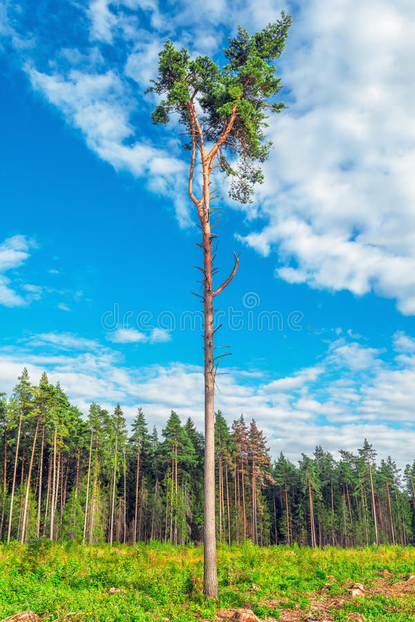 Tall old pine trees. royalty free stock photo