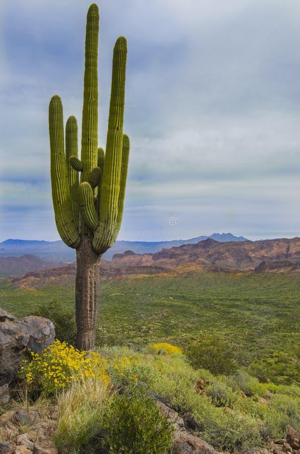 Tall old Saguaro cactus in Arizona desert. Ancient desert saguaro cactus stands and yellow flowers in the mountain desert of Arizona royalty free stock images