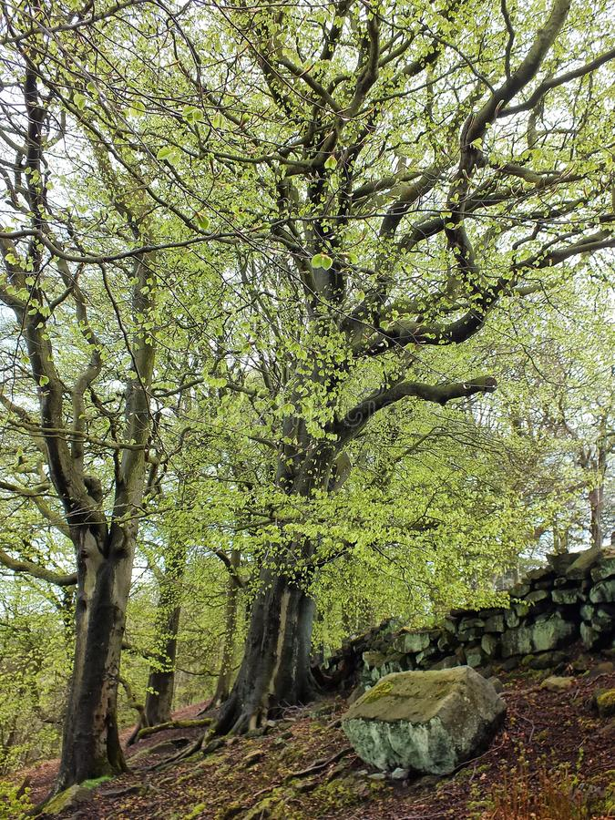 Tall old stately beech trees with vibrant green spring leaves moss covered bark and large roots in hillside forest with moss royalty free stock photos