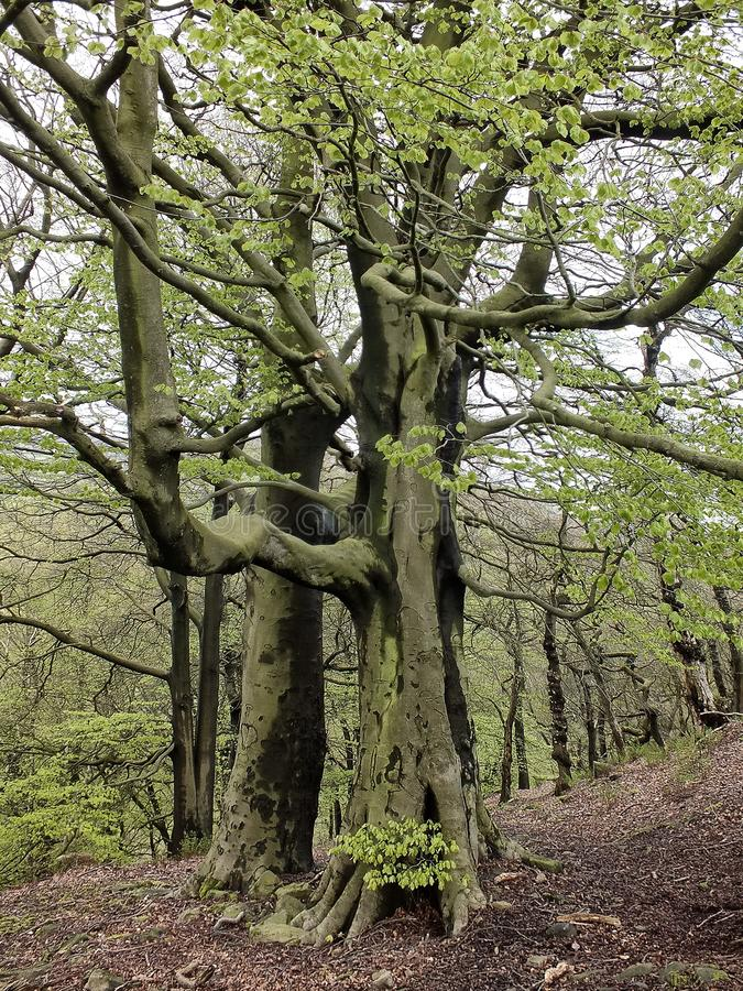 Tall old stately beech trees with vibrant green spring leaves moss covered bark and large roots in hillside forest in yorkshire royalty free stock images