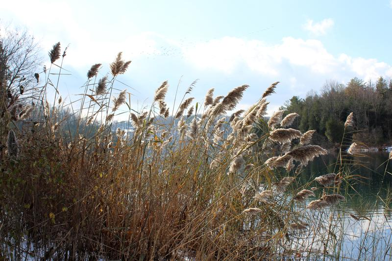 Tall, ornamental grasses lining the shore of peaceful lake royalty free stock images