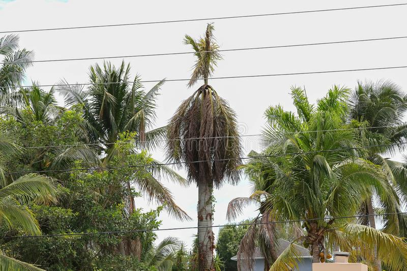Tall palm tree dying after being struck by lightning. stock image