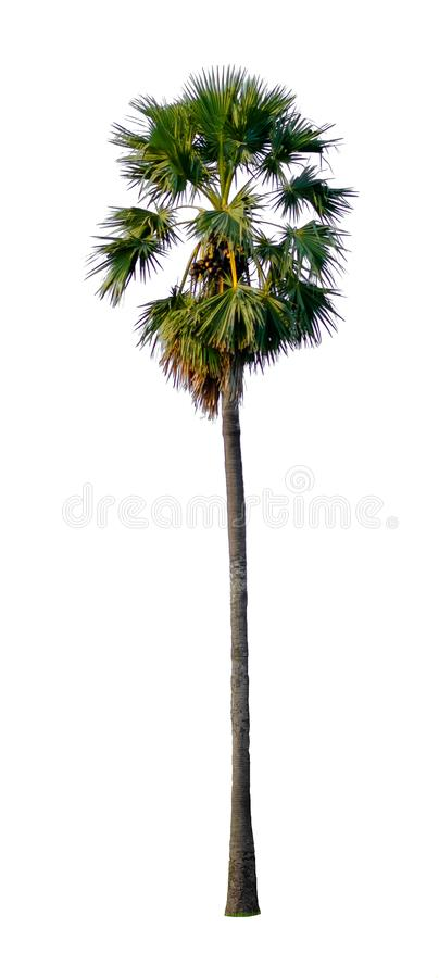 Tall palm tree isolated on white background. stock photos