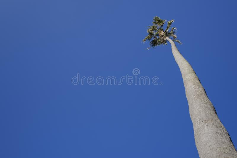 Tall palm tree stock photography