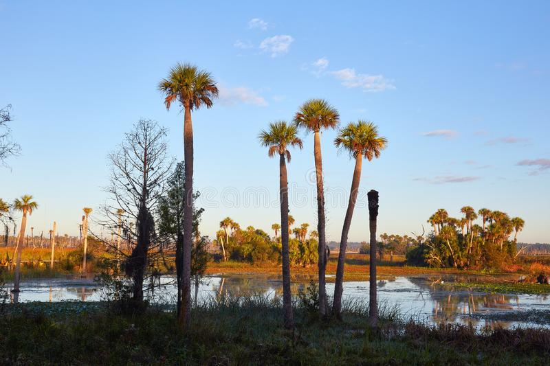 Tall Palm Trees in a Scenic Wetlands Area royalty free stock images