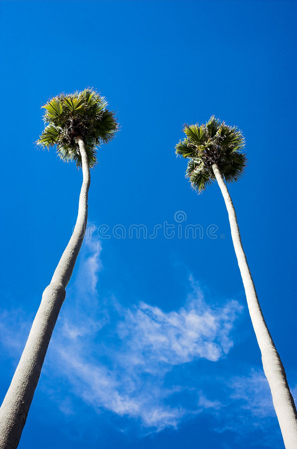 Free Tall Palms Royalty Free Stock Photography - 1584267
