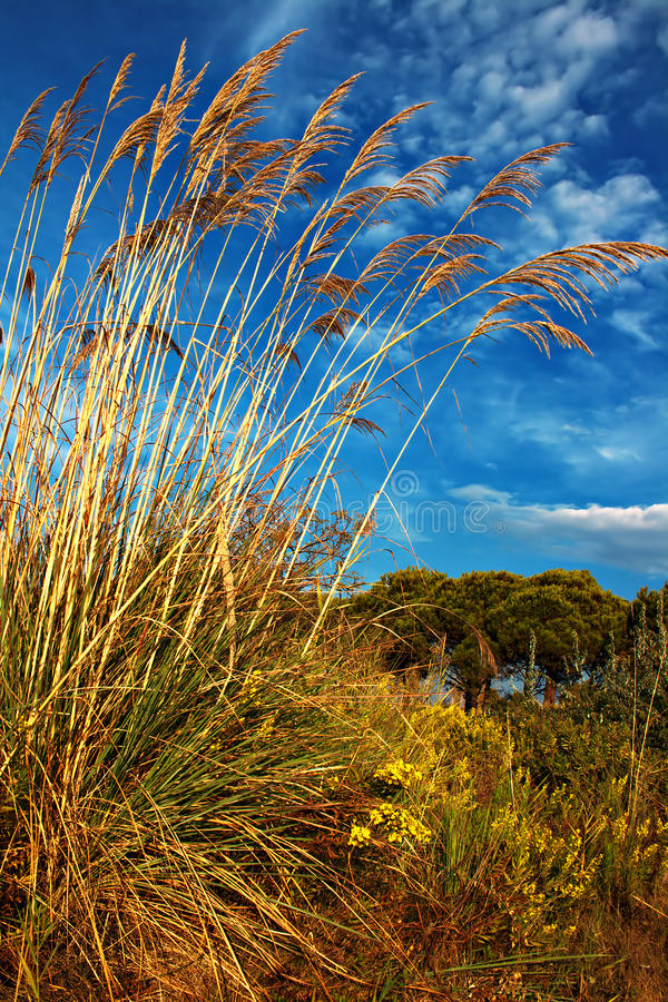 Download Tall Pampas Grass In Autumn Stock Photo - Image: 28198596