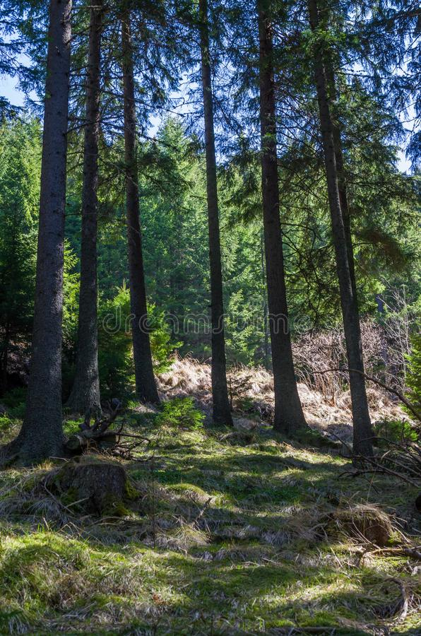 Tall Pine forest royalty free stock photo