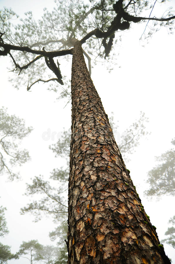 Download Tall Pine Tree Stock Photos - Image: 26799113