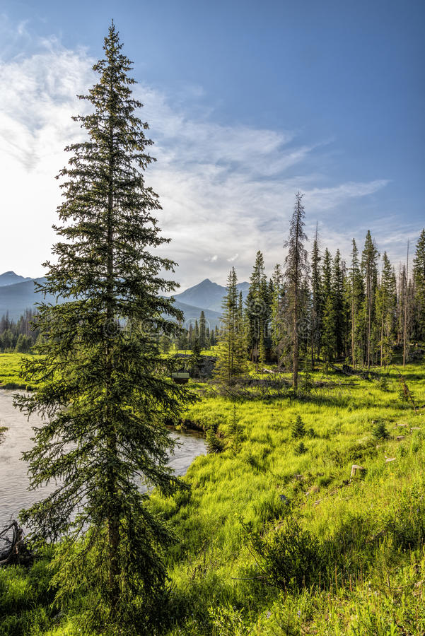 Tall pine tree on bank of Colorado River. In Rocky Mountain National Park, CO royalty free stock photo