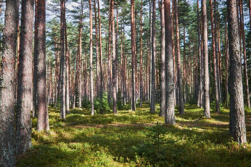 The Tall Pine Tree Forest stock image