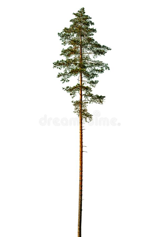 Tall pine tree. Tall pine tree isolated on a white background stock photos