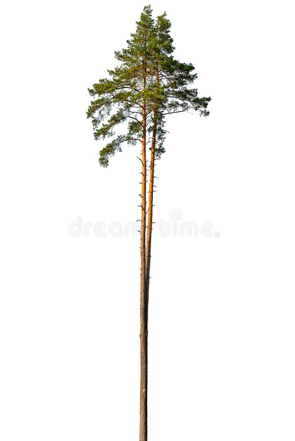 Tall pine tree. Tall pine tree isolated on a white background stock photography
