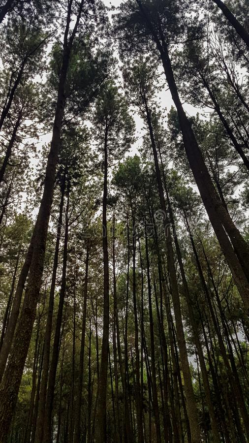 A Really tall pine tree in sentul forest. West java, Indonesia - April 2019, indonesian, wood, trunk, big, sky, leaf, green, environment, outdoor, day, cloudy stock photography