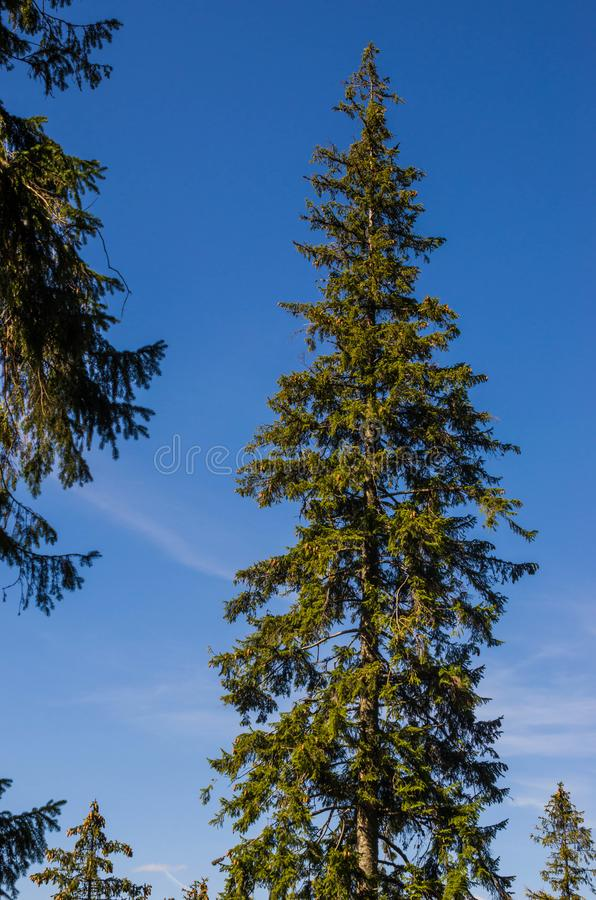 Tall Pine tree stock photography