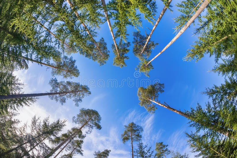 Tall pine tree tops against blue sky stock image