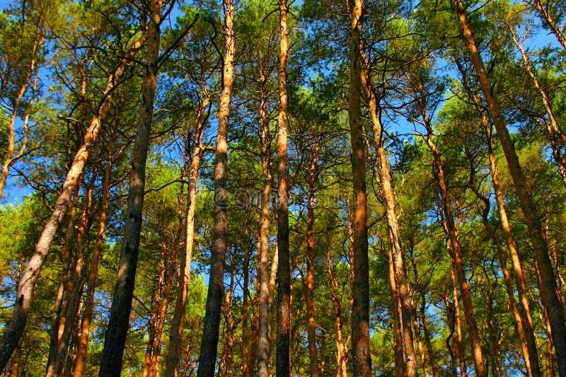 Tall Pine Trees Stock Photos