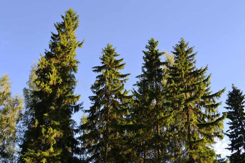 Tall pine trees. The photo of tall pine trees on blue sky background stock images