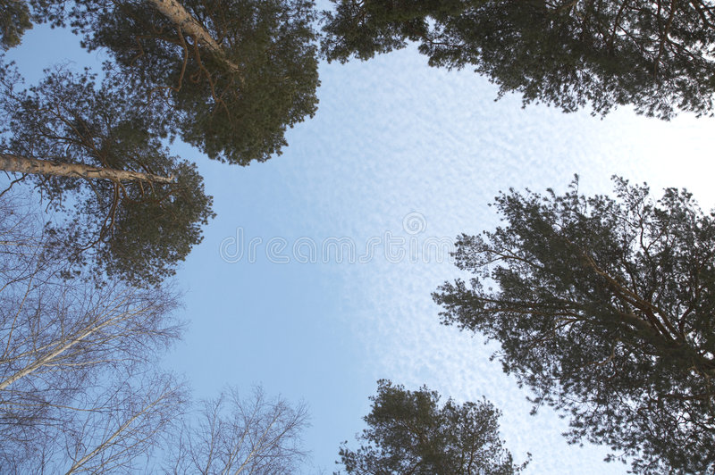 Tall pine trees. And blue sky stock photo