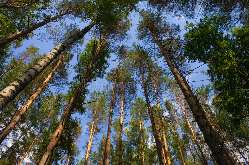 Tall pine trees above against. A blue sky royalty free stock photos