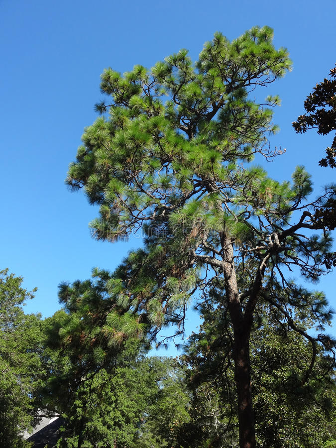 Tall Pine Trees. Against a blue sky royalty free stock image