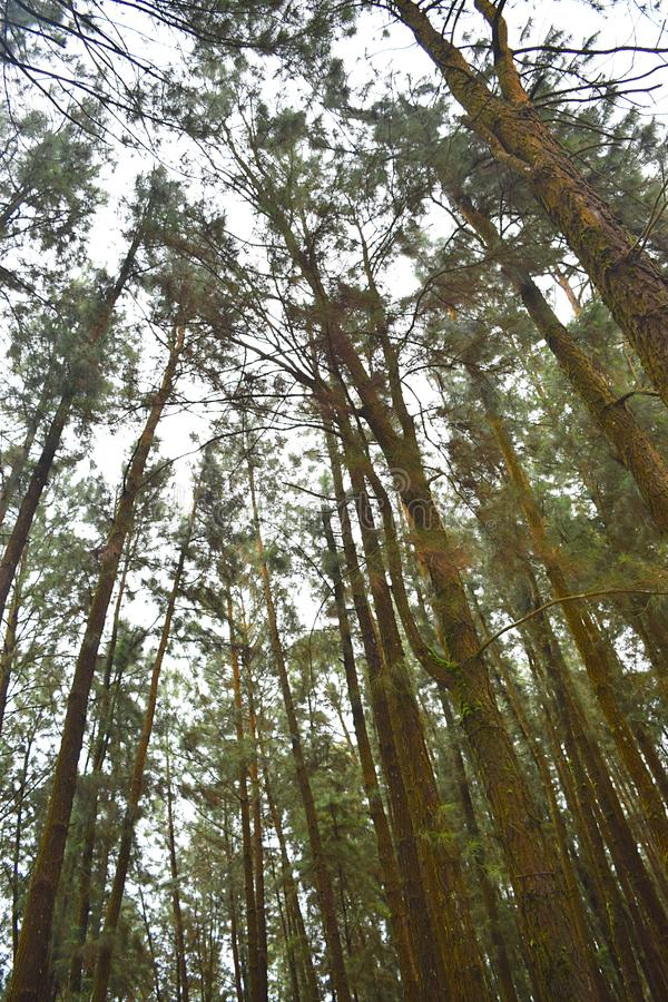 Tall Pine Trees against Sky at Pine Forest Valley, Vagamon, Idukki, Kerala, India. This is a photograph of tall pines trees against sky, captured from ground at stock images