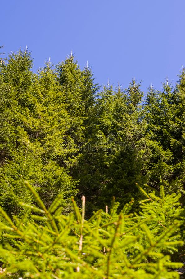 Green Pine tree and blue sky stock photos