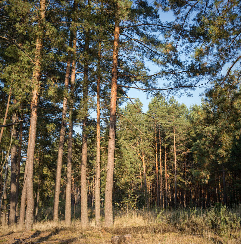 Tall pine trees at the edge of dense forest stock images