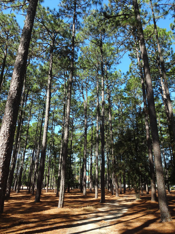 Tall Pine Trees. A forest of tall pines in North Carolina royalty free stock photo