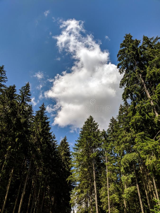 Tall Pine Trees in the Forest on a summer day- Bucegi Reservation, Romania stock image