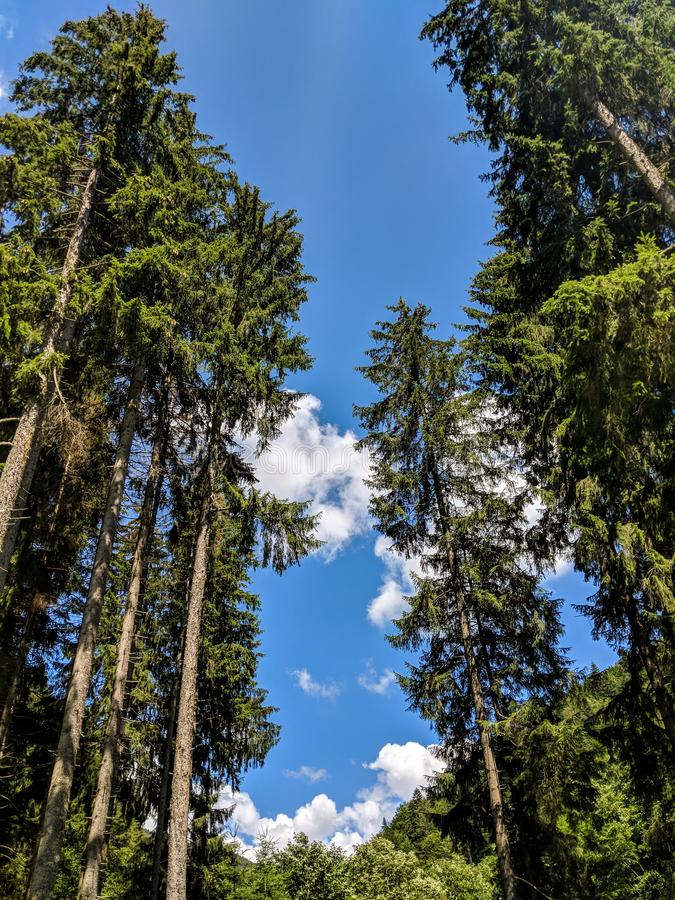 Tall Pine Trees Perspective on a blue summer sky - Bucegi Reservation royalty free stock photos