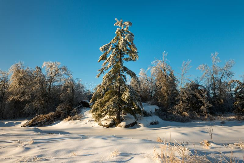 Tall pine in winter in front of a blanket of snow stock images