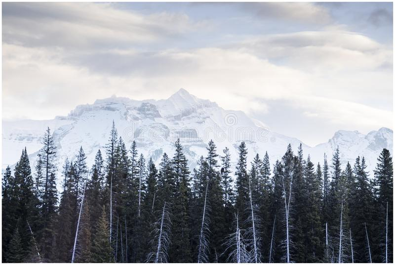 Tall pines in foreground of snow covered mountain in early morning. stock photos