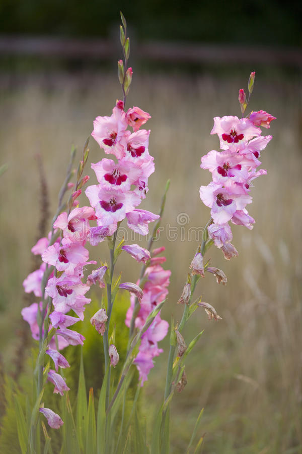 Tall pink flowers gladioli against muted background stock image download tall pink flowers gladioli against muted background stock image image of tall muted mightylinksfo