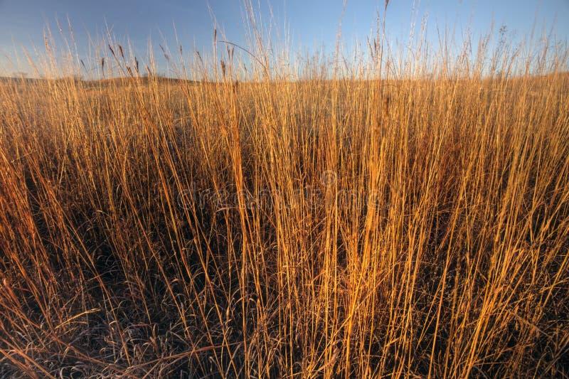 Tall prairie grass in morning light, Kansas. Big bluestem prairie grass in morning sunlight, rural Kansas royalty free stock photos
