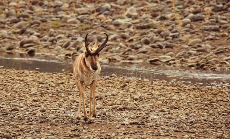 Pronghorn Buck in Yellowstone National Park stock photography
