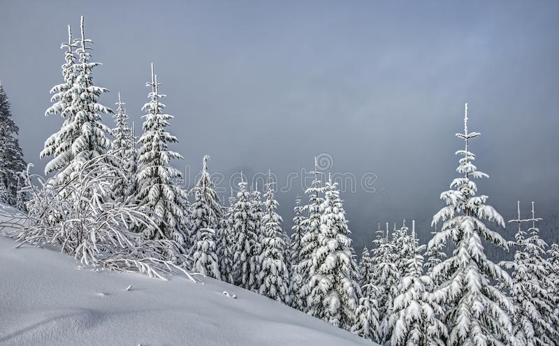 Snow Covered Alpine Evergreens on Cloudy Day stock photography