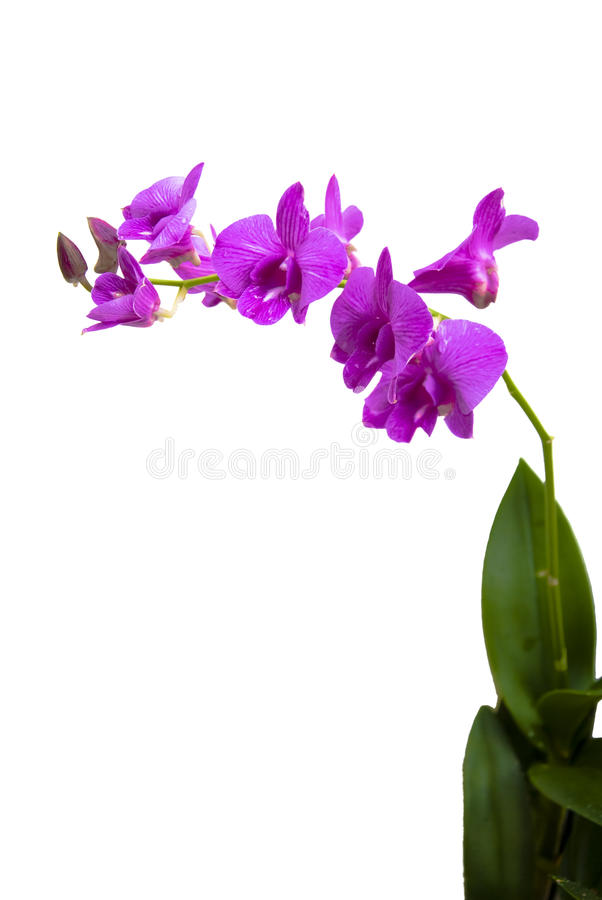 Tall Purple Moth Orchid Isolated royalty free stock images