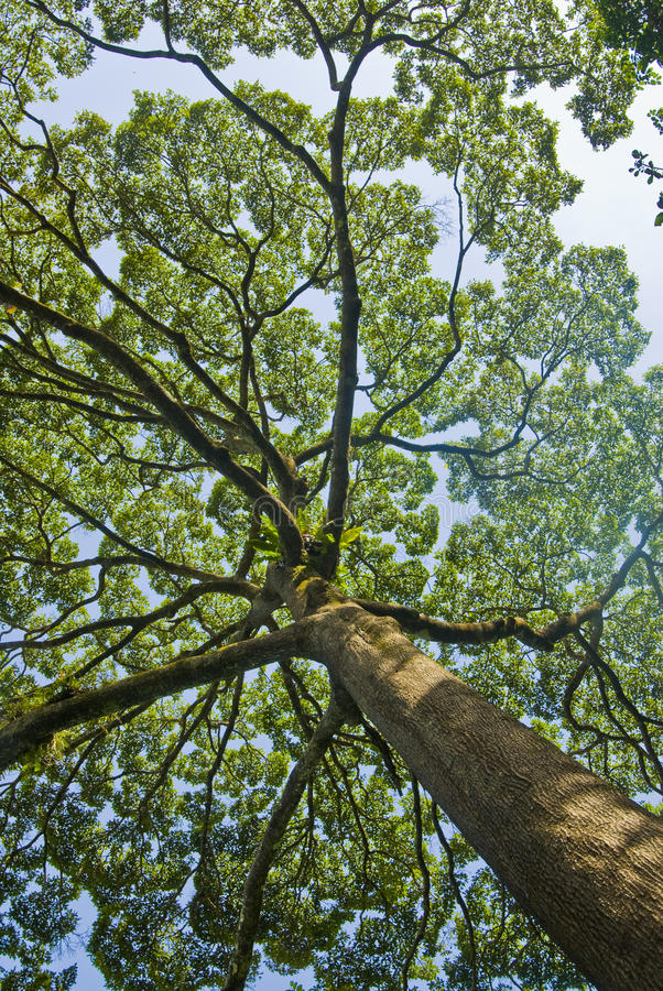 Download Tall rainforest tree stock photo. Image of green, pulp - 32411128