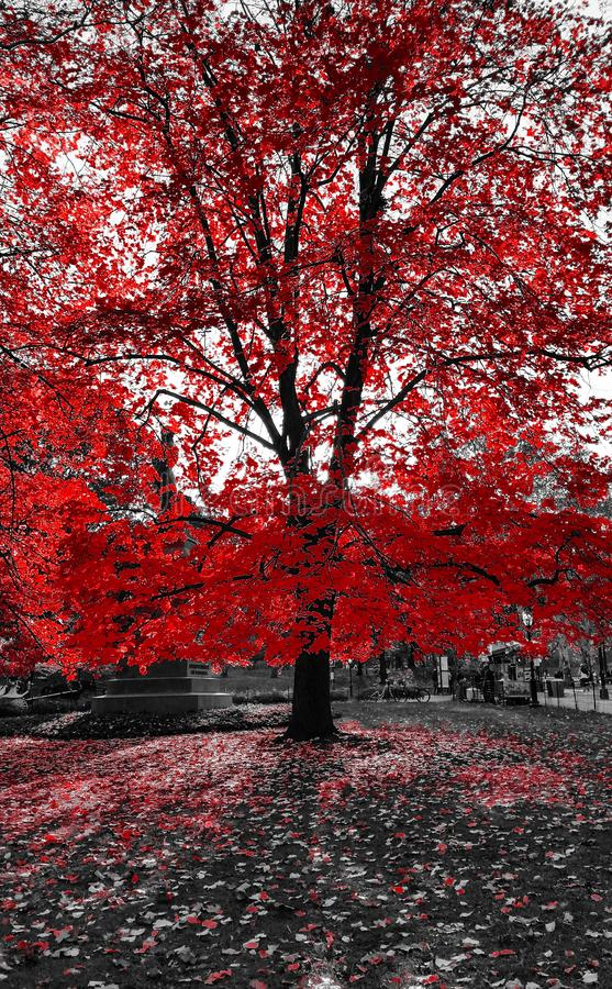 Tall Red Tree in Black and White Landscape NYC royalty free stock photo