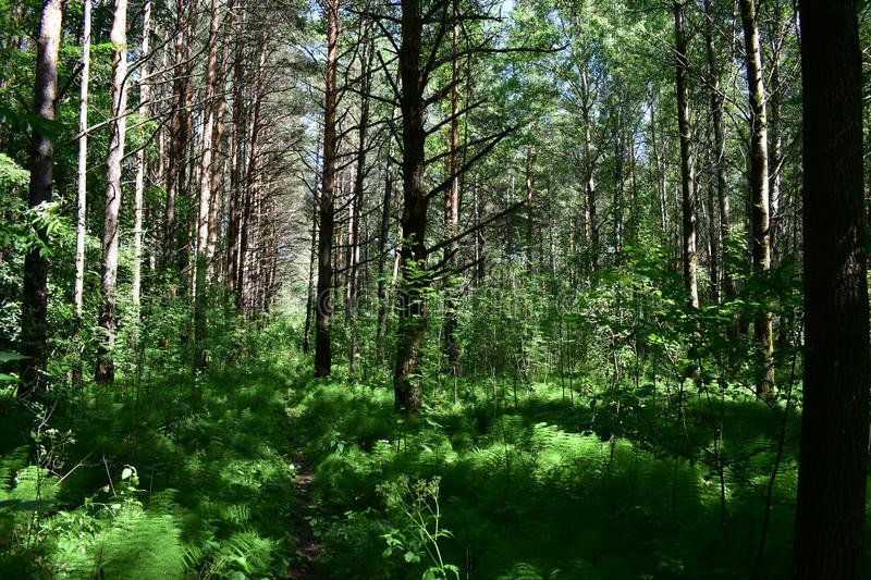 Tall, reddish pines hung their needle-like tops. Around the forest is green.In the forest the darkness soft until the most close top, gray smooth barrels stock photography