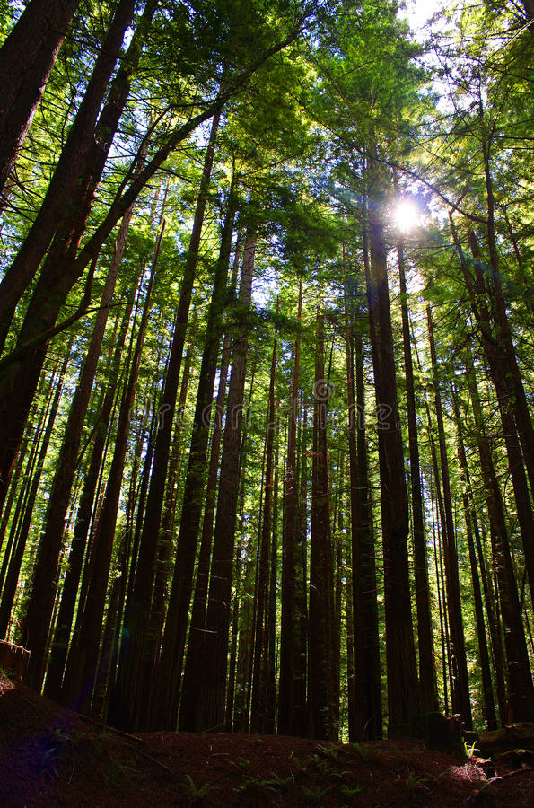 Tall Redwoods. Are back lit at Humboldt Redwoods State park royalty free stock images