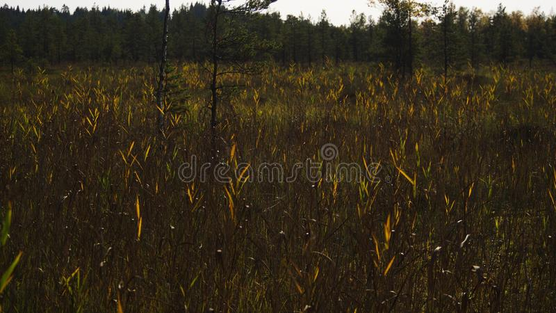 Tall reeds, grass and cat-tails of an overgrown marsh. A wooden boardwalk cuts the the tall reeds, grass and cat-tails of an overgrown marsh royalty free stock photography