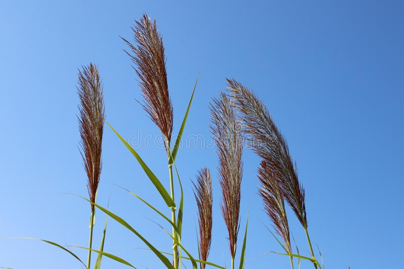 Tall reeds grew on a dried swamp. In a dried swamp in northern Israel, tall reeds royalty free stock images