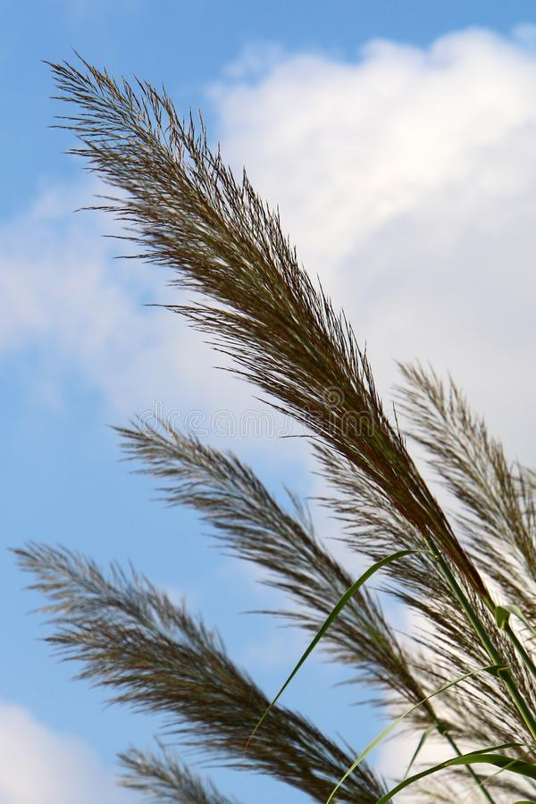Tall reeds grew on a dried swamp. In a dried swamp in northern Israel, tall reeds stock images