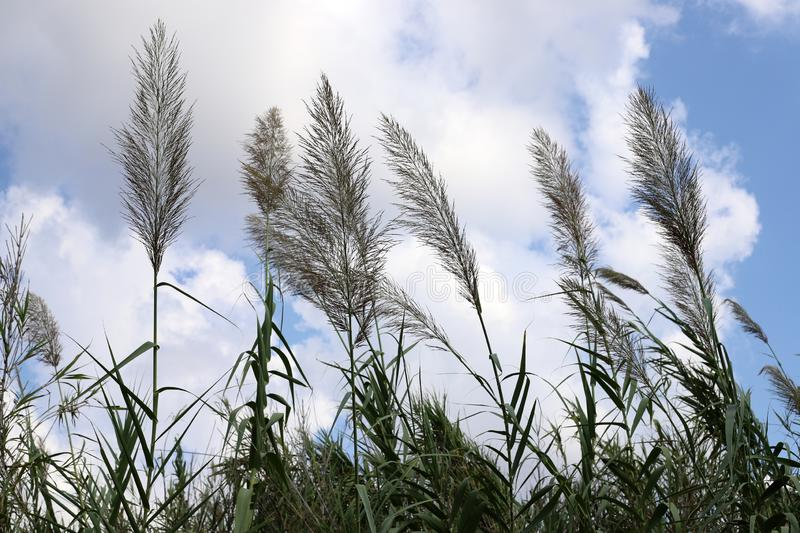 Tall reeds grew on a dried swamp. In a dried swamp in northern Israel, tall reeds royalty free stock photo