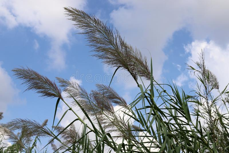 Tall reeds grew on a dried swamp. In a dried swamp in northern Israel, tall reeds royalty free stock photography