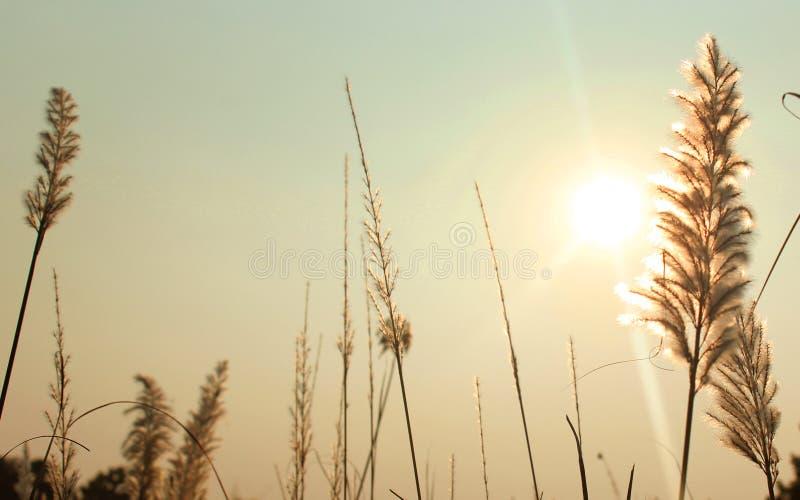 Tall reeds closeup with sunset sky. stock photos