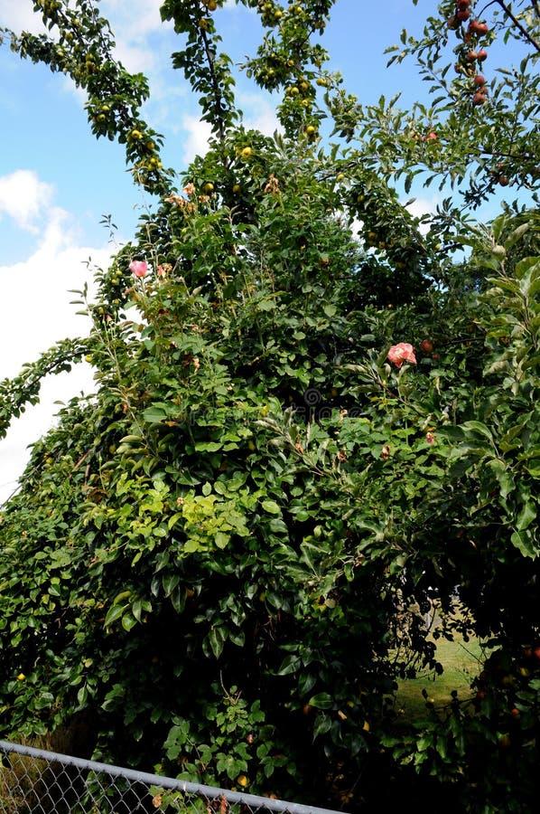 TALL ROSE FLOWRES PLANS I VÄRLDSHUCKLEY arkivfoto