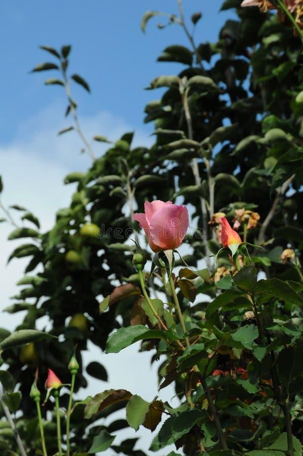 TALL ROSE FLOWRES PLANS I VÄRLDSHUCKLEY royaltyfri foto